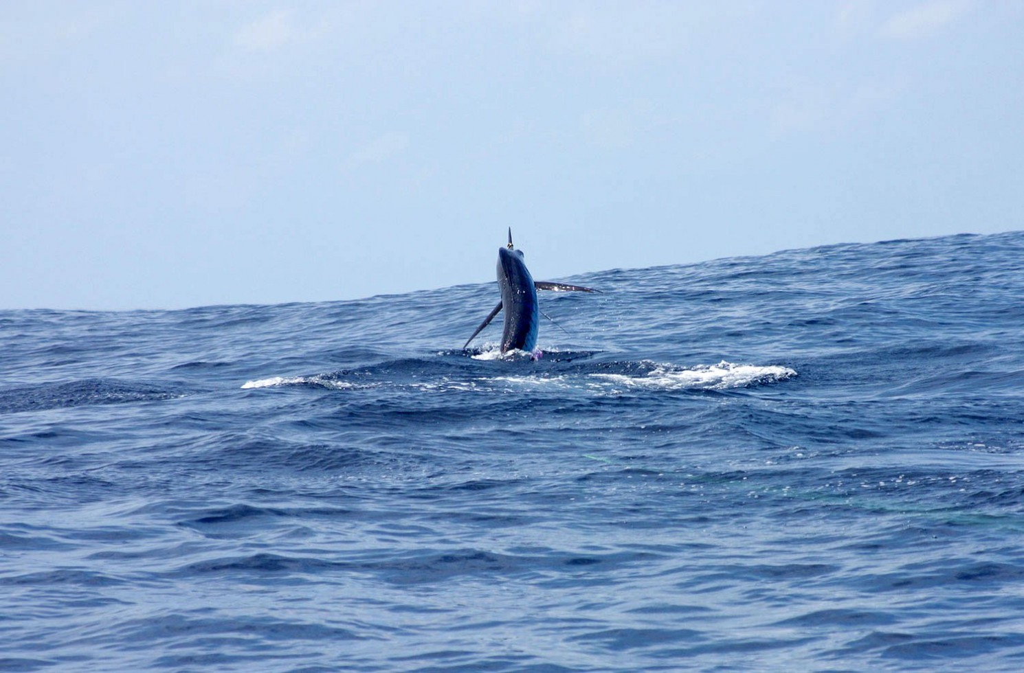 A solid striped marlin charges away from Team Garmin / Bar Crusher.