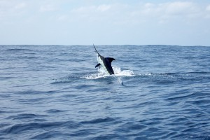East Coast Striped Marlin Fish Jumping From Ocean