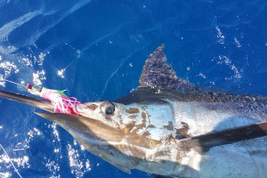 Marlin Fish Caught Using A Remora Fishing Lure
